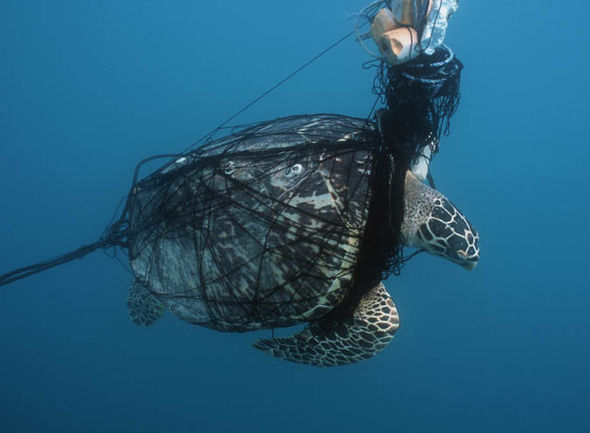 Ensnared Ocean Turtle
